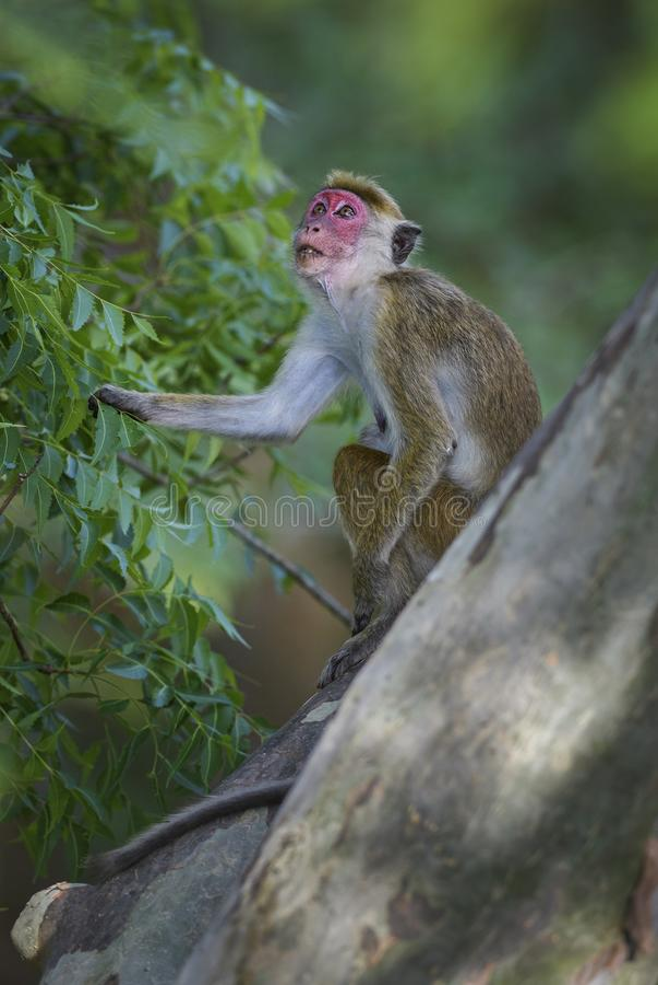 Macaque do Toque - sinica do Macaca, Sri Lanka fotos de stock