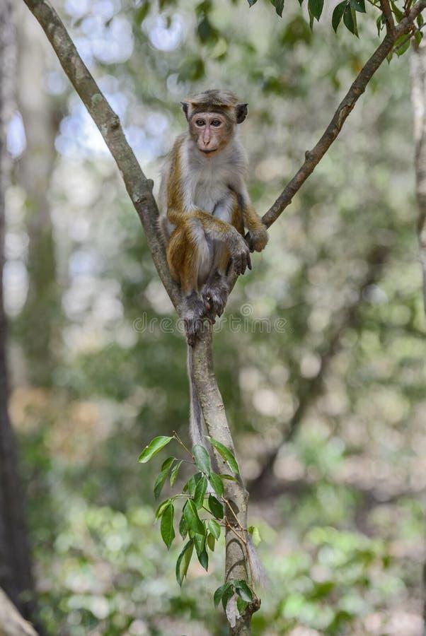 Macaque do Toque - sinica do Macaca, Sri Lanka fotos de stock royalty free