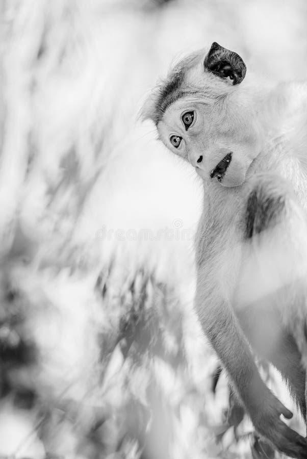 Macaque do Toque - sinica do Macaca, Sri Lanka imagem de stock
