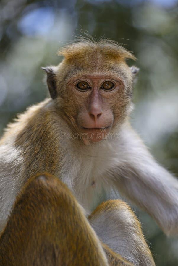 Macaque do Toque - sinica do Macaca, Sri Lanka imagens de stock royalty free