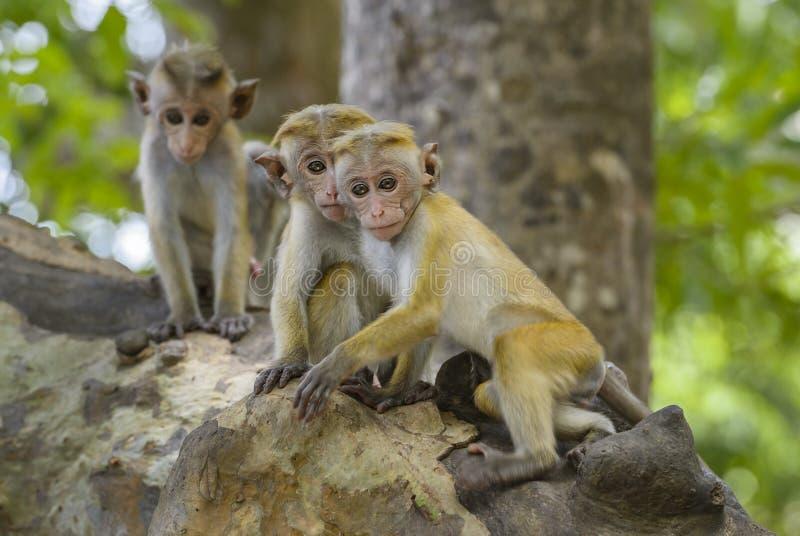Macaque do Toque - sinica do Macaca, Sri Lanka imagens de stock