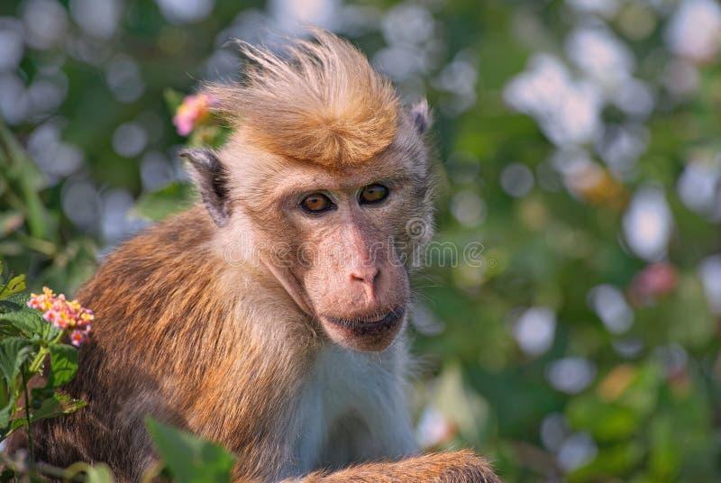 Macaque do Toque - sinica do Macaca, Sri Lanka fotografia de stock royalty free