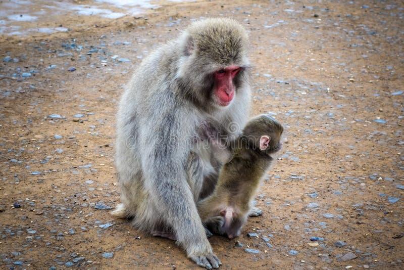 Macaque e bebê japoneses, parque do macaco de Iwatayama, Kyoto, Japão fotos de stock royalty free
