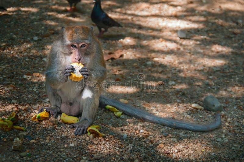Macaque eet graan De aap bekijkt camera en bijt een stuk van gekookt die graan van de toerist wordt ontvangen stock afbeelding