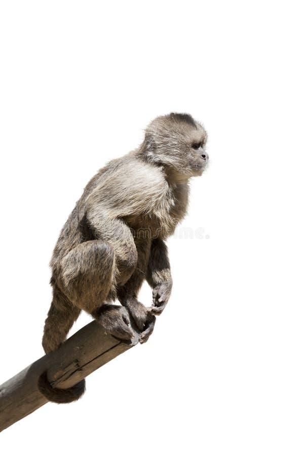 Macaque em uma árvore isolada fotografia de stock