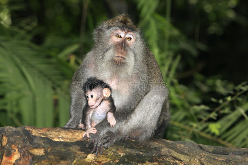 Macaque en Baby met lange staart royalty-vrije stock afbeeldingen