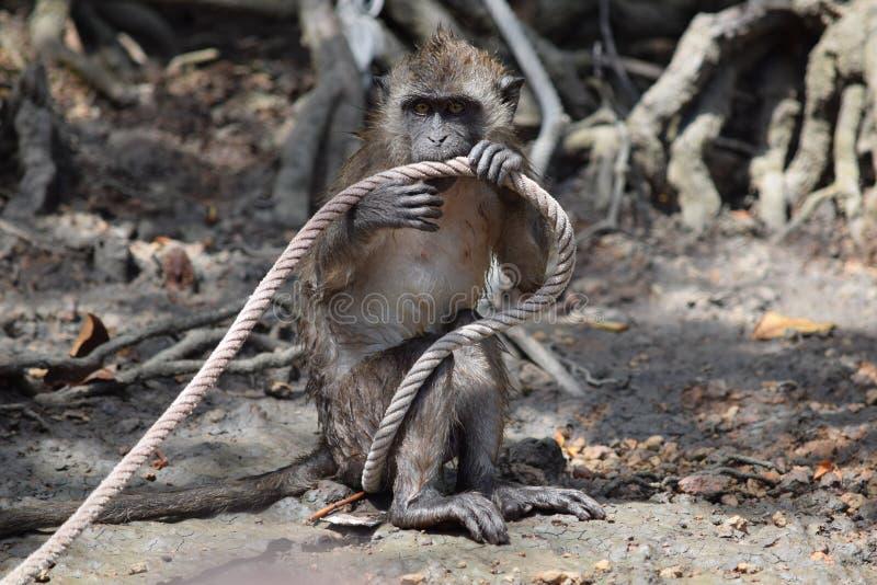 Macaque en los ganchos, jugando con una cuerda imagen de archivo