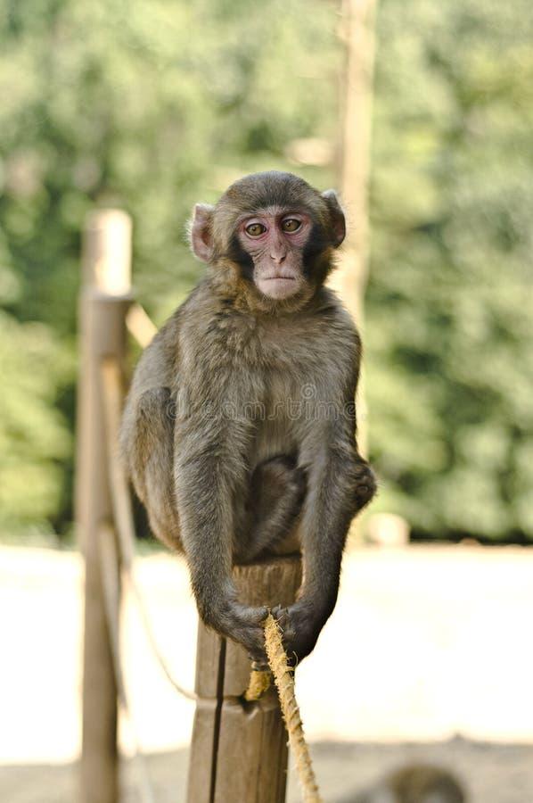 Macaque-Fallhammer lizenzfreie stockbilder