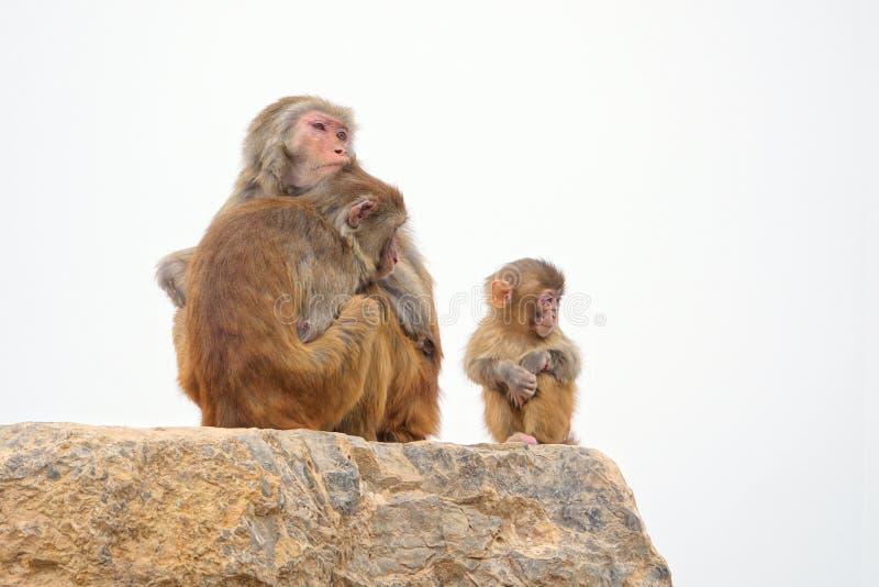 Macaque-familjen fotografering för bildbyråer