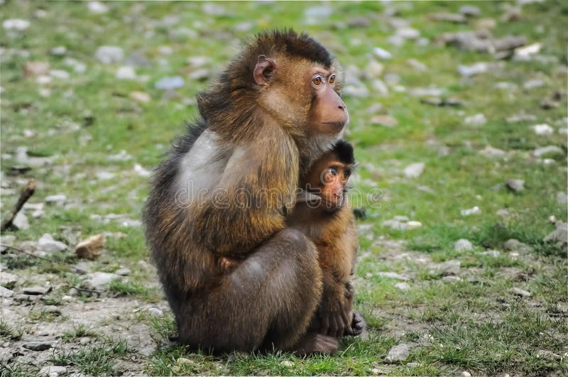 Macaque, Fauna, Primate, New World Monkey royalty free stock photography