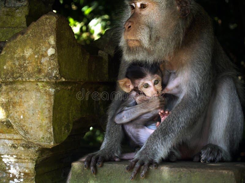 Macaque femelle avec son bébé images libres de droits