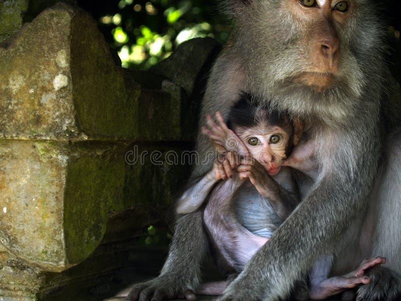 Macaque femelle avec son bébé images stock