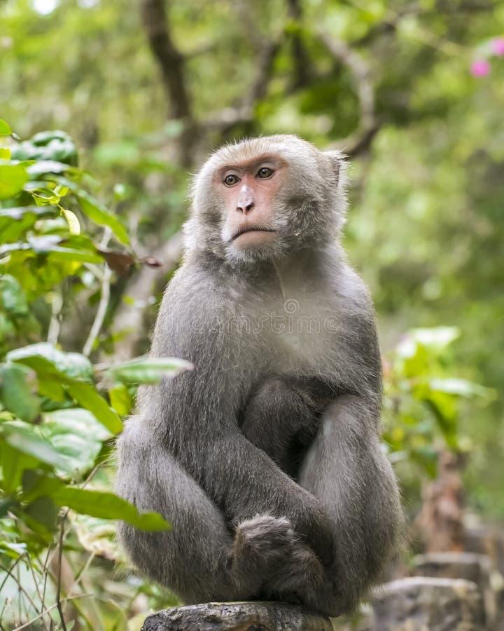 Macaque formosan de roche images stock