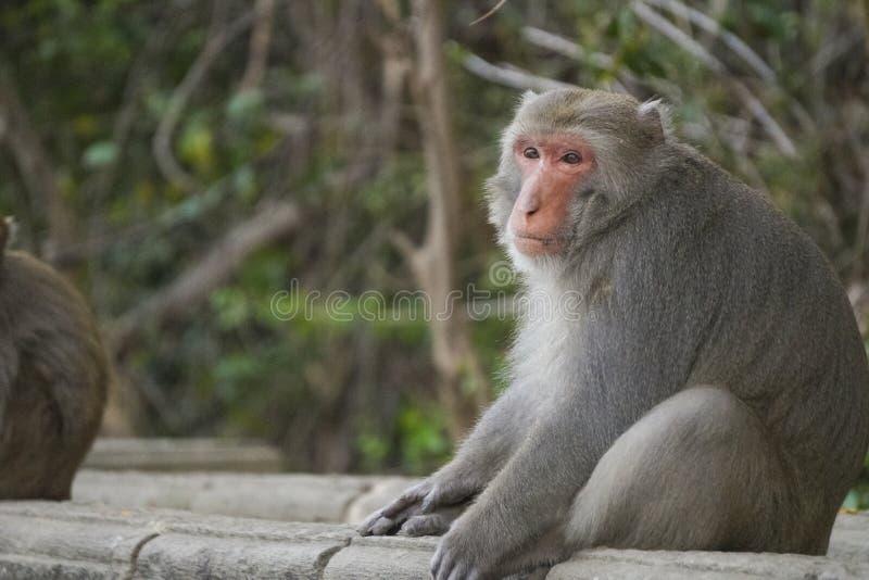 Macaque formosan en montagnes de ville de Kaohsiung, Taïwan, également appelé les cyclopis de Macaca photographie stock