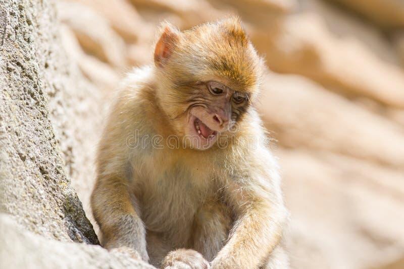 Macaque grincheux de Barbarie (sylvanus de Macaca) photographie stock