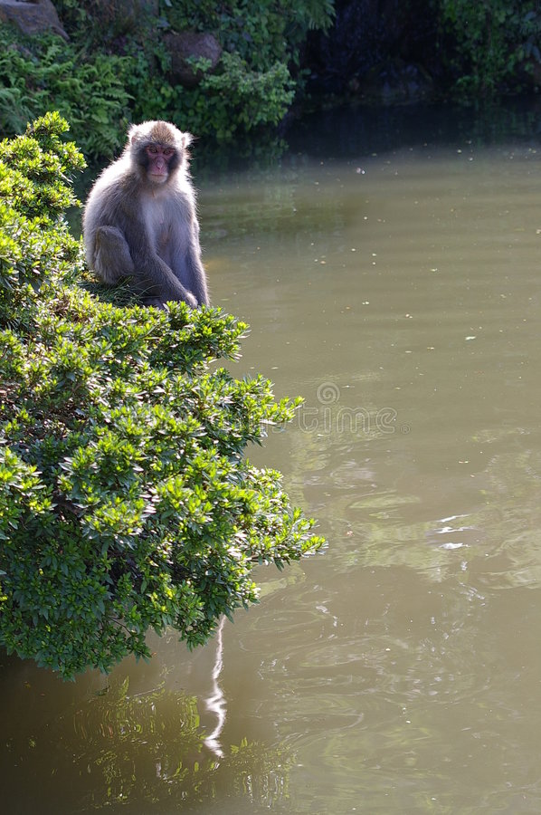 Free Macaque In A Bush Stock Image - 251151