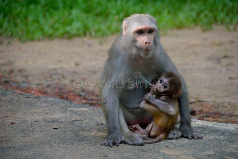Macaque infantil de la Cangrejo-consumición que alimenta desde su madre foto de archivo libre de regalías