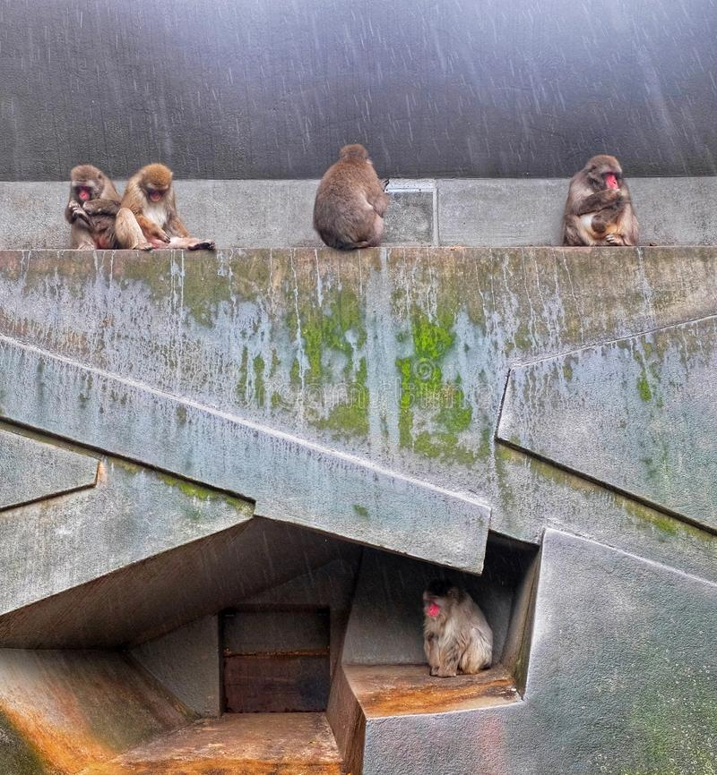 Macaque japoński w ARTIS obraz royalty free