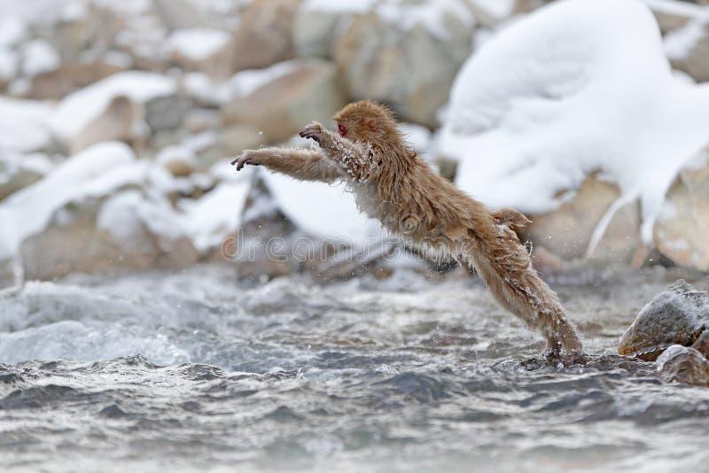 Macaque japonés del mono, fuscata del Macaca, saltando a través del río, Japón Invierno Nevado en Asia Escena divertida de la nat foto de archivo