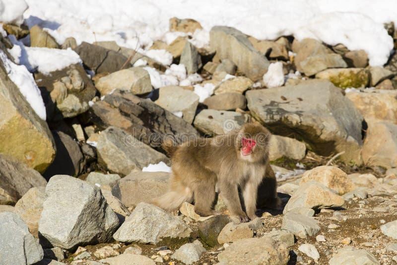 Macaque japonés en las rocas fotos de archivo