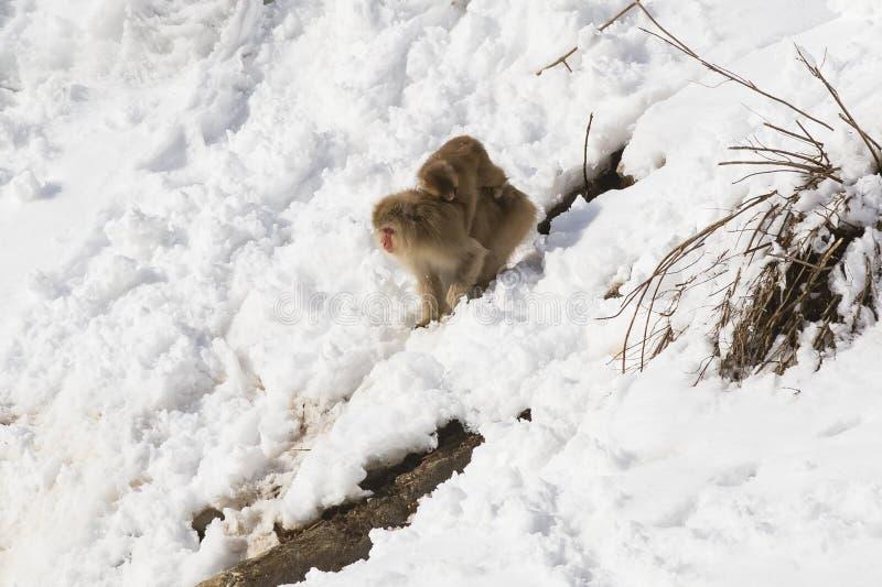 Macaque japonés que va abajo de la disminución Nevado con el bebé imagen de archivo