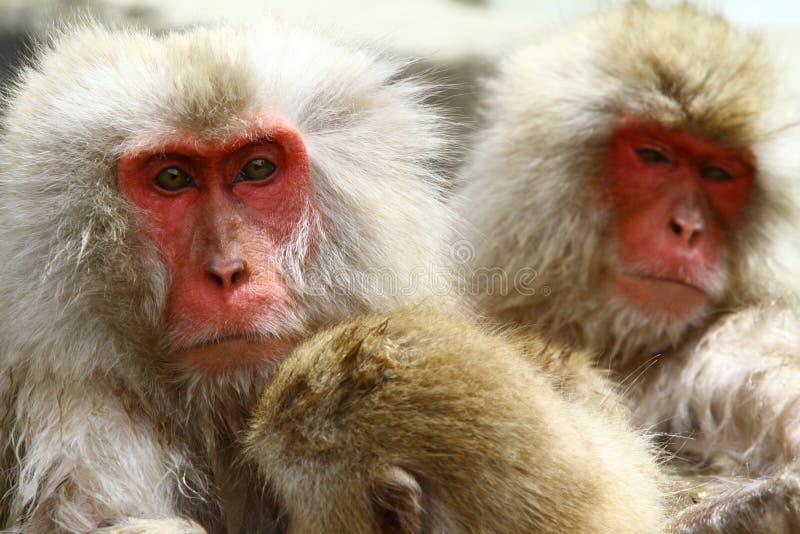 Macaque japonês imagens de stock royalty free