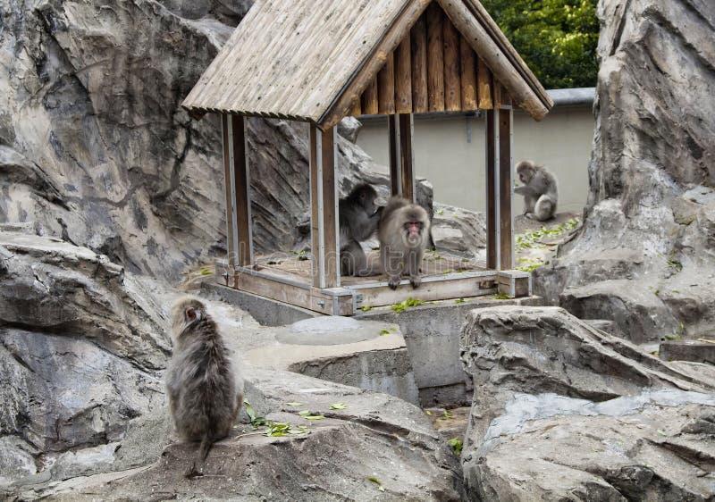 Macaque japonês foto de stock