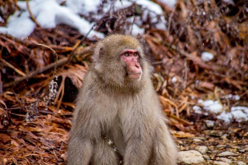 Macaque japonês masculino selvagem, ou macaco da neve imagens de stock royalty free