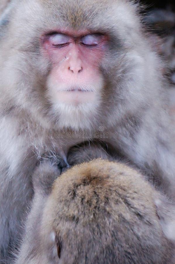 Macaque japonês selvagem - macacos da neve imagens de stock royalty free