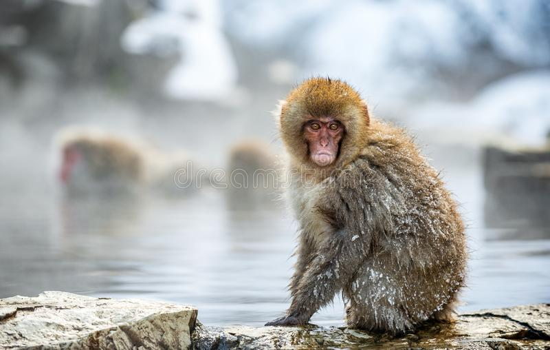 Macaque japon?s en la piedra, cerca de las aguas termales naturales Nombre cient?fico: Fuscata del Macaca, tambi?n conocido como  imagenes de archivo