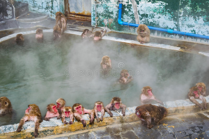 Macaque japonais de singe de neige dans Sur-sénateur de source thermale, Hakodate, Japon image libre de droits