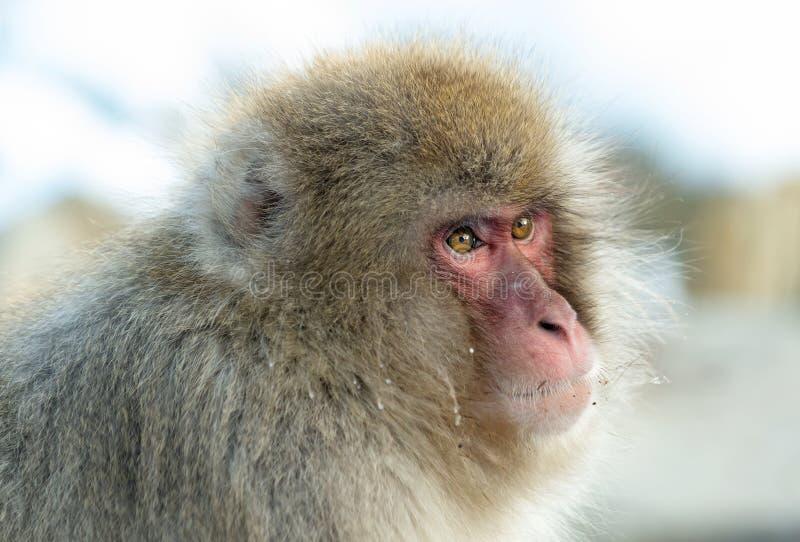 Macaque japonais Fermez-vous vers le haut de la verticale Le macaque japonais (nom scientifique : Fuscata de Macaca), également c image stock