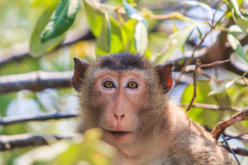 Macaque of krab-Eet macaque stock afbeeldingen