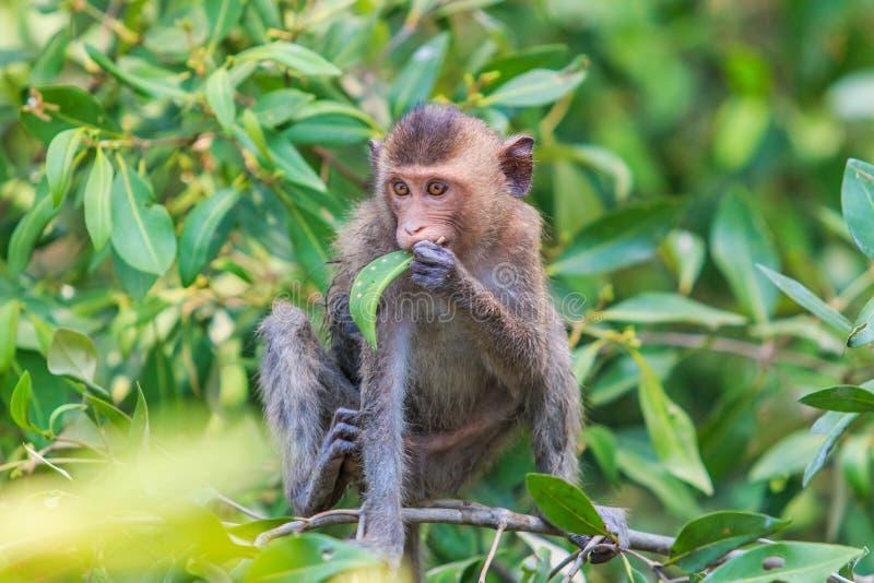Macaque of krab-Eet macaque royalty-vrije stock afbeelding