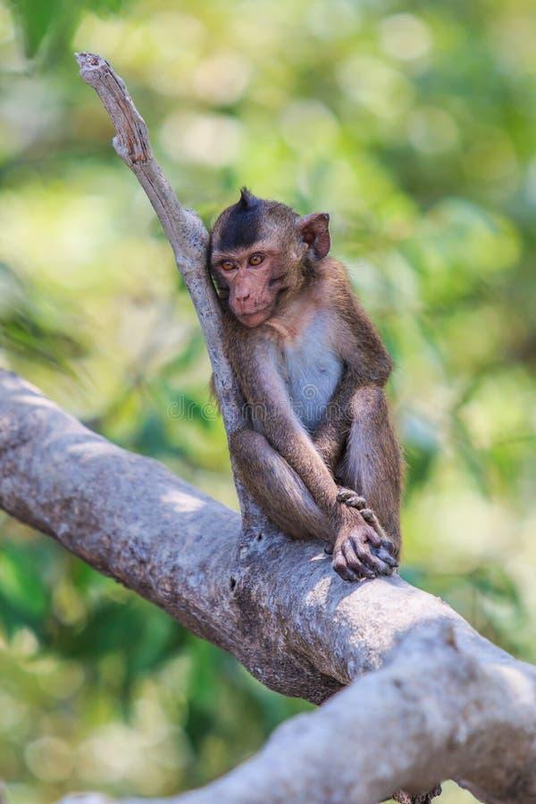 Macaque of krab-Eet macaque royalty-vrije stock foto
