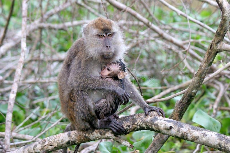 macaque arkivfoto