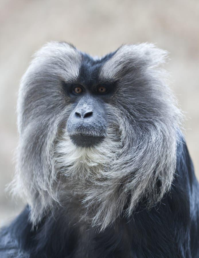 macaque Leão-atado fotografia de stock royalty free