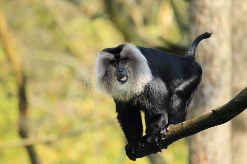 macaque Leão-atado foto de stock royalty free