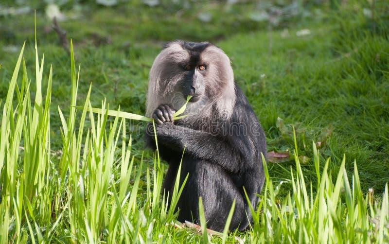macaque Leão-atado fotos de stock