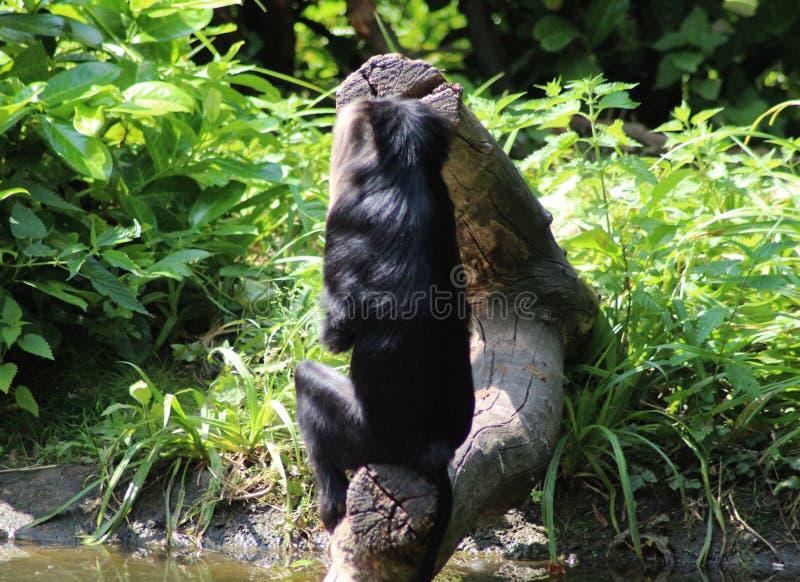 macaque Leão-atado fotos de stock royalty free