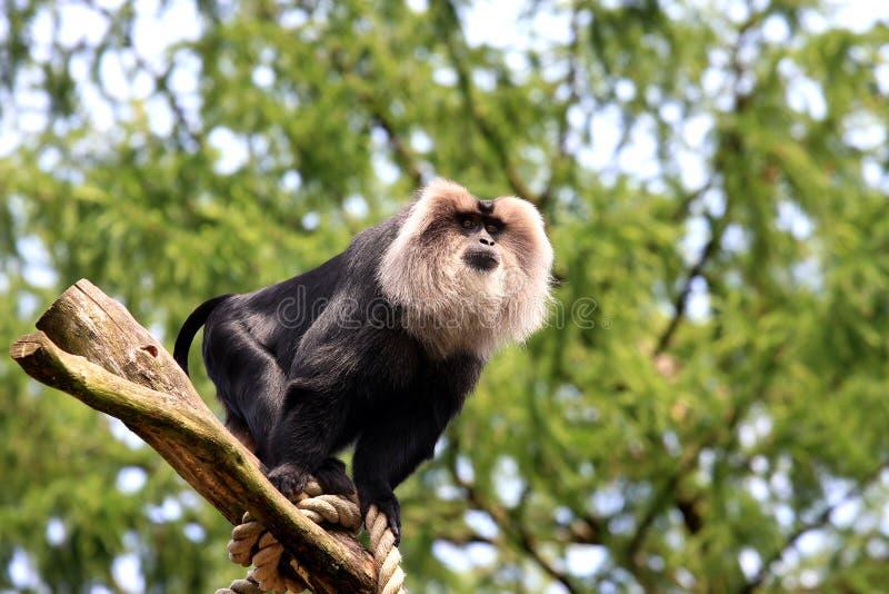 Macaque Leão-atado, prestando atenção de um coto de árvore imagem de stock