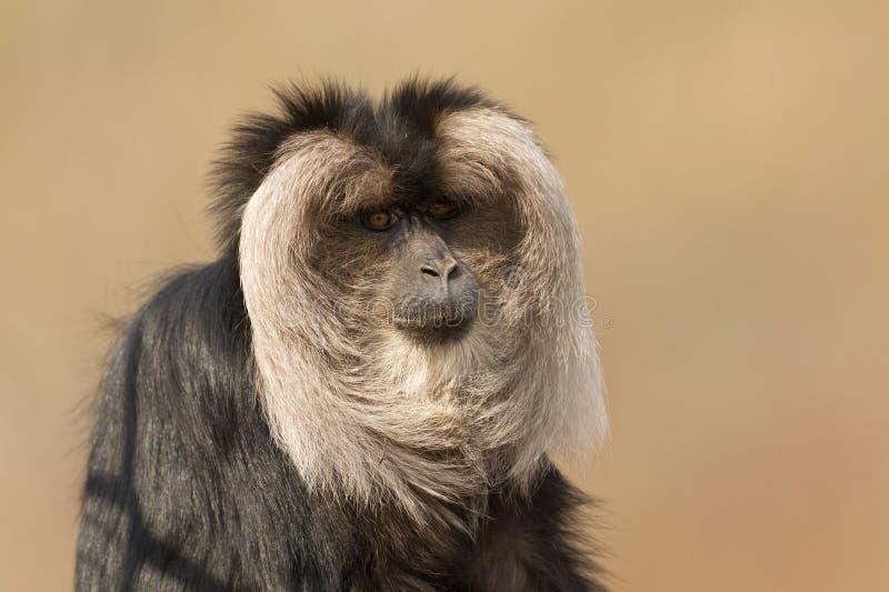 macaque Leão-atado (silenus do Macaca) imagens de stock royalty free
