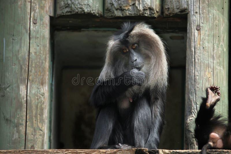 macaque Leão-atado (silenus do Macaca) fotos de stock