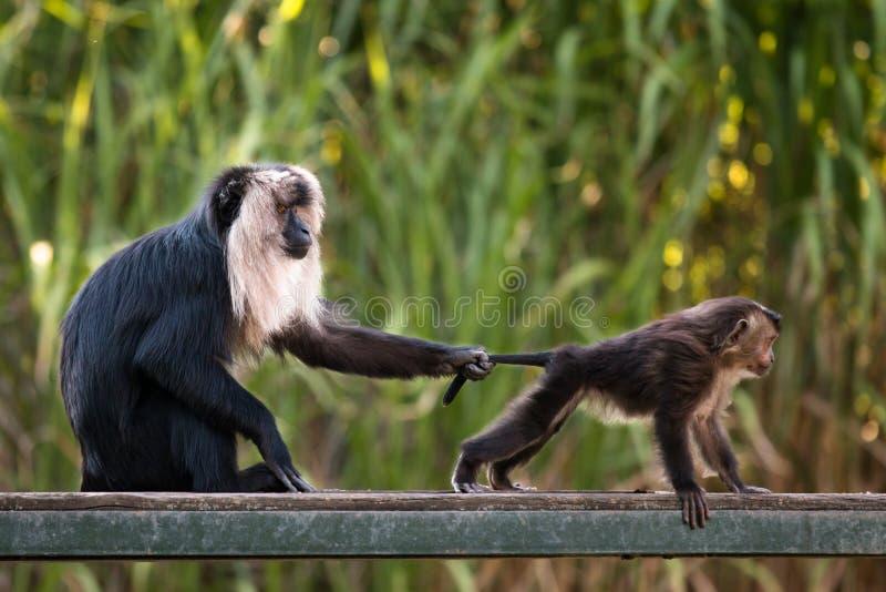 macaque León-atado con el bebé, educación de los jóvenes imágenes de archivo libres de regalías