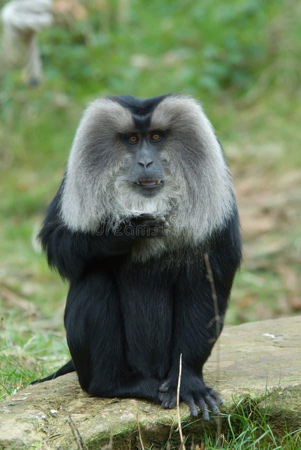 Macaque Leone-munito fotografie stock