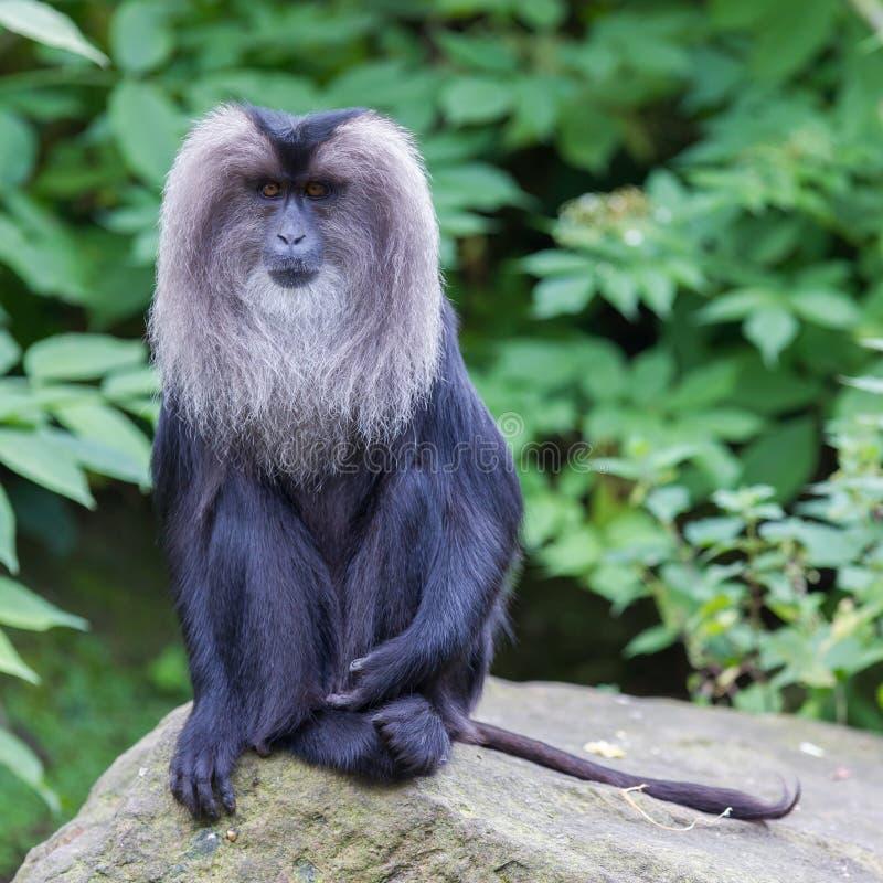 macaque Leone-munito (silenus del Macaca) fotografia stock libera da diritti