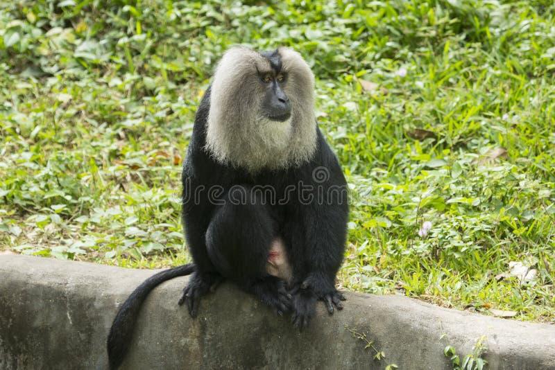 macaque Lion-suivi photo stock