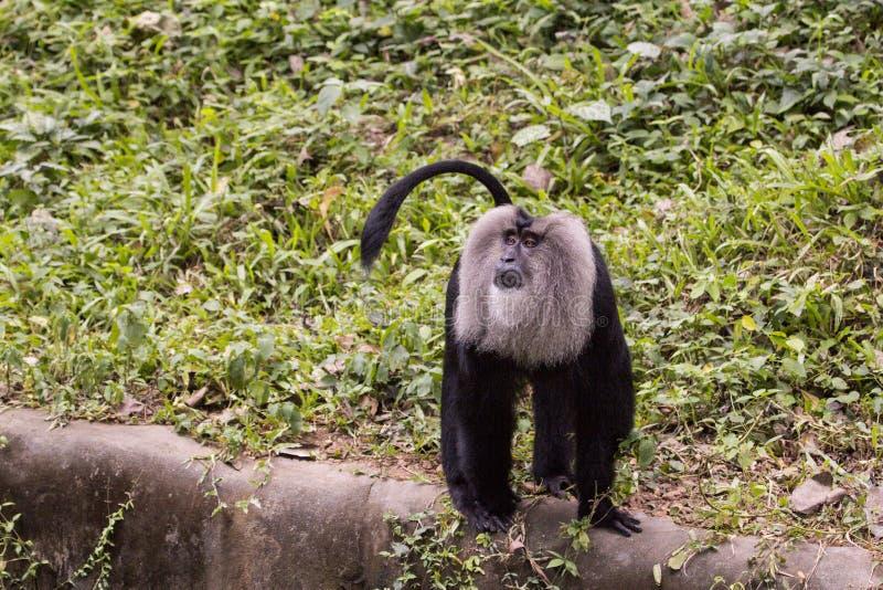 macaque Lion-suivi images libres de droits