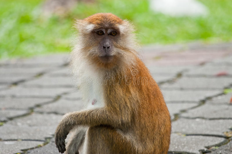 Macaque Long-tailed photo stock