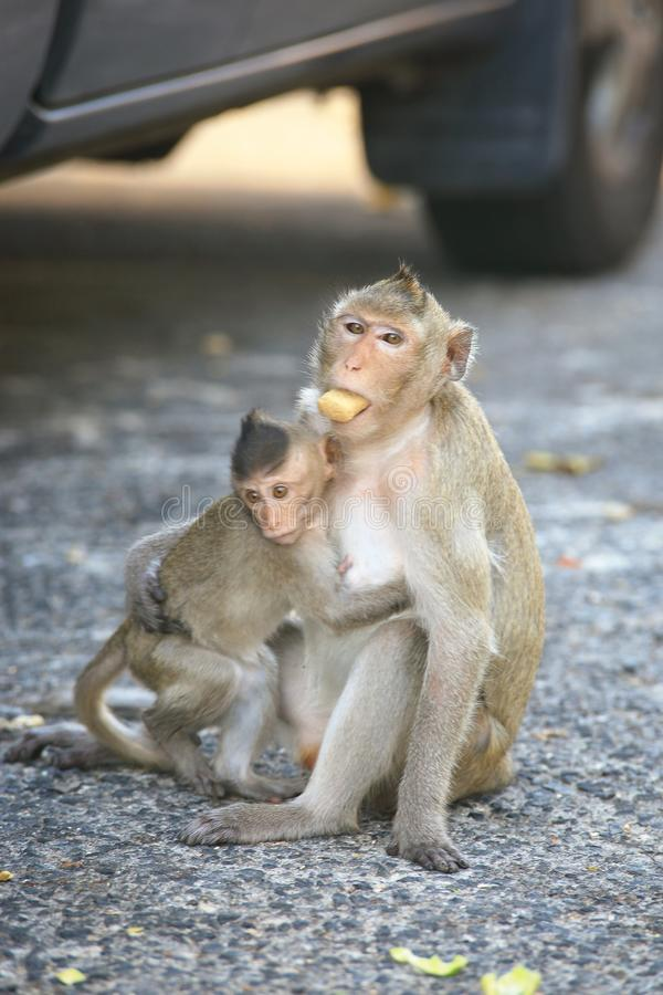 Macaque Long-tailed images stock